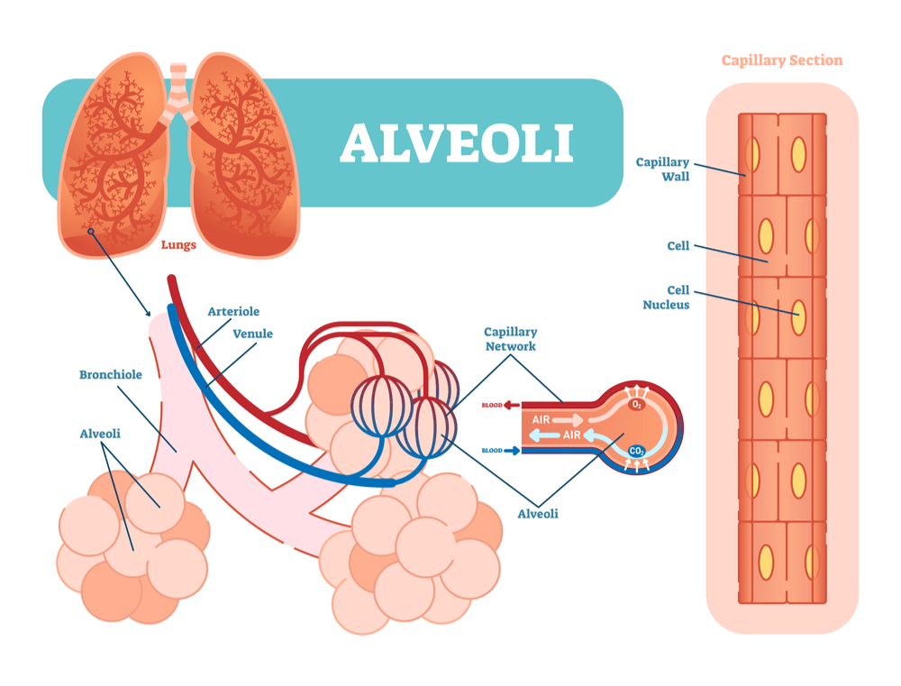 Alveoli Lungs Vaping